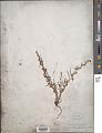 View Thesium heterophyllum digital asset number 1