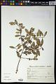 View Sebastiania commersoniana (Baill.) L.B. Sm. & Downs digital asset number 0