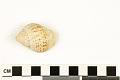 View Speckled Whelk digital asset number 2