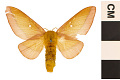 View Pink-striped Oakworm Moth digital asset number 0