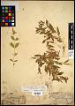 View Silene menziesii subsp. dorrii (Kellogg) C.L. Hitchc. & Maguire digital asset number 0