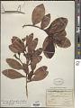 View Humiria balsamifera var. floribunda (Mart.) Cuatrec. digital asset number 1