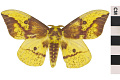 View Imperial Moth digital asset number 2