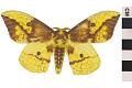 View Imperial Moth digital asset number 2