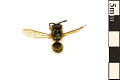 View Common Yellowjacket, Common Wasp digital asset number 0