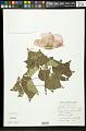 View Hibiscus mutabilis L. digital asset number 0