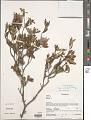 View Grewia pulverulenta R. Vig. digital asset number 1