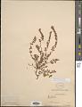 View Euphorbia adenoptera Bertol. subsp. adenoptera digital asset number 1