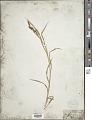View Carex shortiana Dewey & Torr. digital asset number 1