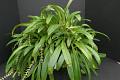 View Bulbophyllum cocoinum Bateman ex Lindl. digital asset number 0