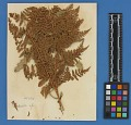 View Botanical Specimens From Quileute Indians digital asset number 15