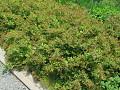 View Spiraea japonica L. f. digital asset number 0