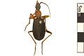 View False Bombardier Beetle digital asset number 0
