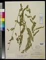 View Aeschynomene petraea var. grandiflora Rudd digital asset number 0