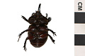 View Ox Beetle digital asset number 0