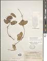 View Passiflora obtusifolia Sessé & Moc. digital asset number 1