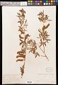 View Salix lasiolepis Benth. digital asset number 0