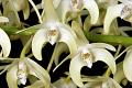 View Dendrobium speciosum Sm. digital asset number 2