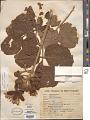 View Caryocar brasiliense A. St.-Hil. subsp. brasiliense digital asset number 1