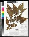 View Tacca leontopetaloides (L.) Kuntze digital asset number 0