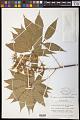 View Aesculus glabra var. anguta (Willd.) B.L. Rob. digital asset number 0