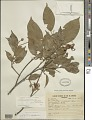 View Swartzia brachyrachis Harms var. brachyrachis digital asset number 0
