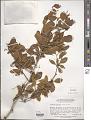 View Berberis corymbosa digital asset number 1
