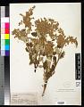 View Holodiscus dumosa (A. Heller) A. Heller digital asset number 0