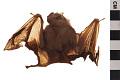 View Tent-making Bat digital asset number 6