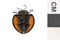 View Tortoise Beetle digital asset number 1