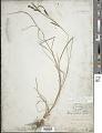 View Carex kelloggii W. Boott var. kelloggii digital asset number 1