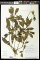 View Euphorbia tetraptera Baker digital asset number 0