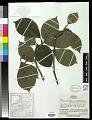 View Magnolia denudata var. purpurascens Rehder & E.H. Wilson in Sarg. digital asset number 0