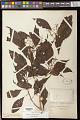View Miconia pusilliflora Triana digital asset number 0