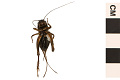 View Pennsylvania Field Cricket, Fall Field Cricket digital asset number 1