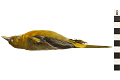 View Baltimore Oriole, Northern Oriole digital asset number 0