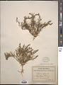 View Thesium alpinum L. digital asset number 1