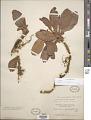 View Leptarrhena pyrolifolia (D. Don) Aiton ex Ser. digital asset number 1
