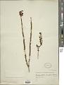 View Cambessedesia espora subsp. ilicifolia (DC.) A.B. Martins digital asset number 1