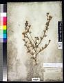 View Dasiphora fruticosa (L.) Rydb. digital asset number 0