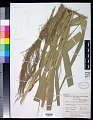 View Phragmites karka (Retz.) Trin. ex Steud. digital asset number 0