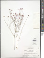View Polygala trichosperma L. digital asset number 1