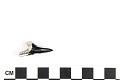 View Fossil Shark, Weasel shark, Snaggletooth shark digital asset number 8