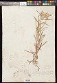 View Anaphalis margaritacea (L.) Benth. & Hook. f. digital asset number 0