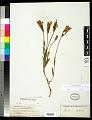 View Gentianella detonsa subsp. elegans (A. Gray) J.M. Gillett digital asset number 0