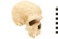 View Steinheim, Fossil Hominid digital asset number 0