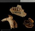 View Urocitellus parryii kodiacensis digital asset number 3