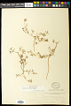 View Euphorbia parryi Engelm. digital asset number 0