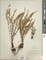 View Myriopteris aurea (Poir.) Grusz & Windham digital asset number 1