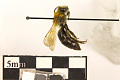 View Polyester Bee, Cellophane Bee, Plasterer Bee digital asset number 2